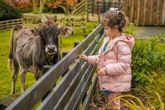 Une vache à une ferme image stock