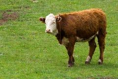 Une vache à Hereford dans un pâturage. Photos stock