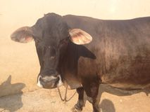 Une vache Image stock