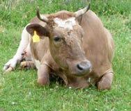 Une vache Photos libres de droits