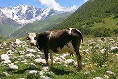 Une vache en montagnes Images stock