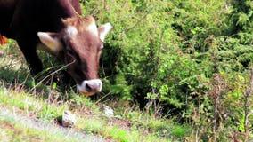 Une vache avec le pâturage dans le pré de montagne d'Alpes au jour ensoleillé banque de vidéos
