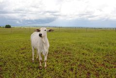 Une vache blanche Photo libre de droits