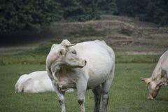 Une vache blanche devant l'appareil-photo Photo libre de droits