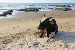 Une vache blanche noire ou mensonges ou repos de taureau sur la plage, sur la mer Photo stock