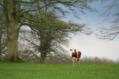 Une vache brune et blanche dans un domaine avec des arbres Images stock
