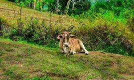 Une vache dans un côté de colline images stock