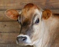 Une vache dans une grange Photos stock