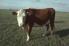 Une vache de boucherie de Hereford dans un pâturage Image libre de droits