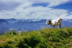 Une vache devant les Alpes Images libres de droits