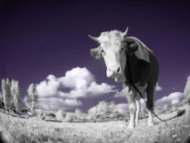 Une vache est dans le domaine est dans une couleur infrarouge Images libres de droits