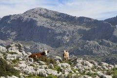 Une vache et son veau images stock
