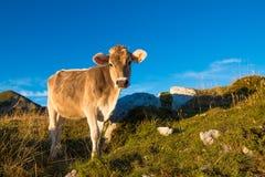 Une vache mange Photos stock