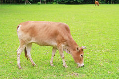 Une vache mange l'herbe Photo stock