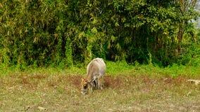 Une vache mange l'herbe sur une terre photos libres de droits