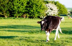 Une vache marchant vers vous dans un domaine photo stock