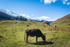 Une vache noire pâturant dans la communauté rurale dans les montagnes images stock