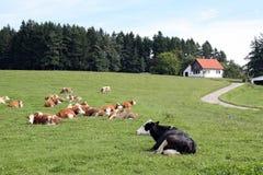 Une vache noire solitaire loin image libre de droits