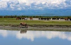 Une vache potable et chevaux près d'une rivière Images stock