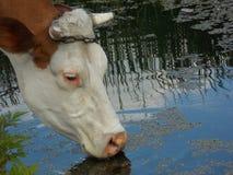 Une vache qui boit l'eau Photo stock