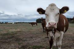 Une vache regardant l'appareil-photo image libre de droits
