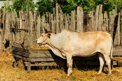 Une vache reste dans une stalle Photos libres de droits