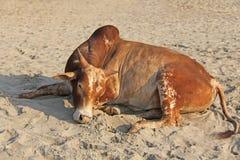 Une vache rouge ou orange ou mensonges ou repos de taureau sur la plage, sur le s Photographie stock libre de droits