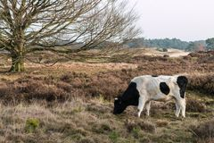 Une vache sauvage dans un paysage Images libres de droits
