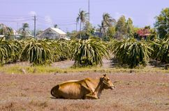 Une vache se situant dans un pré près de la plantation de pitahaya image libre de droits