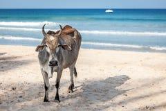 Une vache se tient à la plage arénacée d'océan sur une côte de jour ensoleillé tout près chez Sri Lanka, Trincomalee Photographie stock libre de droits