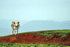 Une vache seule Images stock