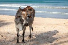 Une vache sur une plage d'océan sur une côte de jour ensoleillé tout près chez Sri Lanka, Trincomalee Photos libres de droits