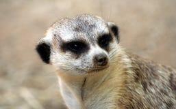 Une verticale d'un Meerkat Photos libres de droits