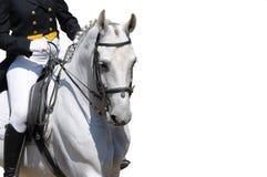 Une verticale de cheval gris de dressage a isolé image stock