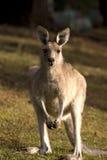 Une verticale de kangourou Images stock
