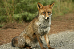 Une verticale de renard Photo stock