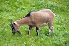 Une verticale noire de chèvre Image stock