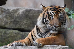 Une vie du ` s de tigre Photos libres de droits