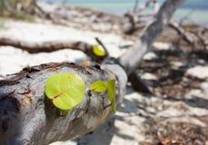 Une vieille branche d'arbre de Seagrape et de x28 ; Uvifera& x29 de Coccoloba ; Images stock