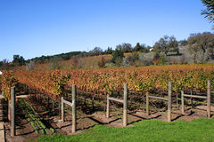 Une vigne d'automne Photo stock