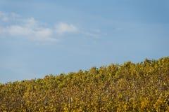 Une vigne dans l'automne Images libres de droits