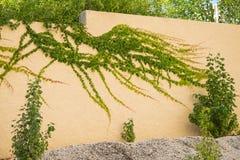 Une vigne grandissante de haut en bas fantastique Image libre de droits
