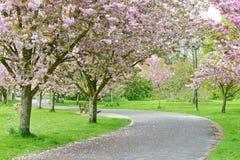 Une voie par des fleurs de cerisier Photos stock