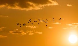 Une volée des oiseaux à l'aube, le soleil Image stock
