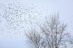 Une volée des oiseaux de jaseurs sur un arbre images stock