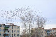 Une volée des oiseaux de jaseurs sur un arbre photo libre de droits