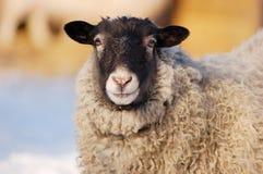 Une vue étroite haute d'un portrait de moutons regardant l'appareil-photo Images stock