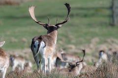 Une vue arrière d'un cerf commun affriché masculin dans un domaine herbeux D'autres cerfs communs affrichés peuvent être vus hors photographie stock