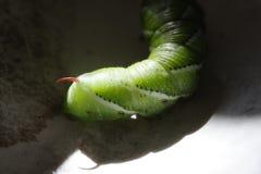 Une vue détaillée d'un hornworm de tabac photos libres de droits