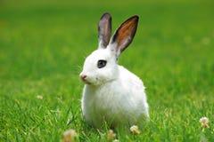 Une vue d'un lapin blanc sur une herbe photo stock